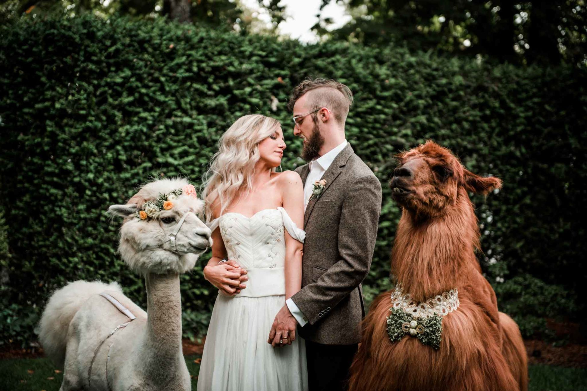 Bride and groom portrait taken at their Gray Gables Estate Wedding with Classy Camelids wedding llamas and a Desiree Spice wedding dress by Dionne Kraus Photography